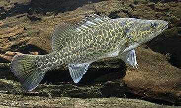 Murray cod (Maccullochella peelii) juvenile.